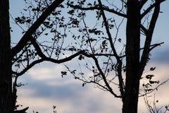 Silueta de las ramas de árbol de eucalipto en cielo azul con las nubes Imagenes de archivo