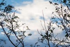 Silueta de las ramas de árbol de eucalipto en cielo azul con las nubes Fotografía de archivo libre de regalías