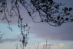 Silueta de las ramas de árbol de eucalipto en cielo azul con las nubes Imágenes de archivo libres de regalías