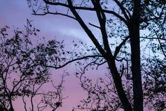 Silueta de las ramas de árbol de eucalipto en cielo azul con las nubes Imagen de archivo libre de regalías