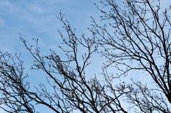 Silueta de las ramas de árbol contra el cielo claro azul Imágenes de archivo libres de regalías