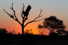 Silueta de los árboles del acacia momentos después de la puesta del sol fotografía de archivo libre de regalías
