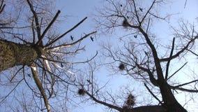 Silueta de los cuervos del vuelo almacen de metraje de vídeo