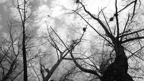 Silueta de los cuervos del vuelo