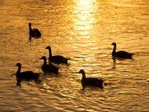 Silueta de los gansos Fotografía de archivo