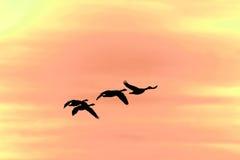 Silueta de los gansos del vuelo Fotografía de archivo