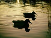 Silueta de los patos del pato silvestre en un lago inmóvil de oro en la puesta del sol imagen de archivo