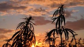 Silueta de los tops de ramas del cáñamo salvaje en un fondo de la puesta del sol Cultivo del cáñamo r almacen de video