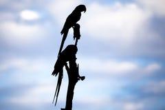 Silueta de Macaws en árbol contra el cielo azul con las nubes Imagenes de archivo