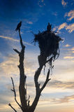 Silueta de Osprey Fotos de archivo