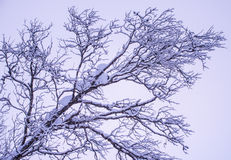 Silueta de ramas nevadas Foto de archivo