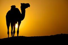 Silueta de un camello salvaje en la puesta del sol foto de archivo