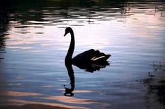 Silueta de un cisne y de su reflexión Imagen de archivo