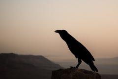 Silueta de un cuervo negro en el amanecer fotos de archivo