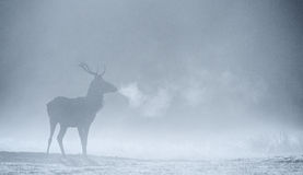 Silueta de un macho de los ciervos comunes Imágenes de archivo libres de regalías