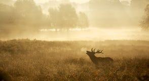 Silueta de un macho de los ciervos comunes Fotos de archivo