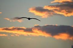 Silueta de un pájaro de mar del pelícano del vuelo contra un cielo dramático de la puesta del sol Imagen de archivo libre de regalías