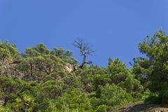 Silueta de un pino seco contra un cielo despejado azul Imágenes de archivo libres de regalías