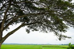 Silueta de un toldo de árbol en el campo del arroz de arroz Foto de archivo libre de regalías
