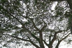 Silueta de un toldo del árbol forestal con el cielo blanco Foto de archivo libre de regalías