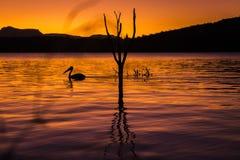 Silueta de una natación del pelícano en la puesta del sol Imagen de archivo libre de regalías