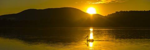 Silueta de una natación del pelícano en la puesta del sol Imagen de archivo