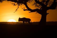 Silueta de Wildebeast en la puesta del sol Imagen de archivo libre de regalías