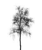 Silueta del árbol de abedul aislada en blanco Foto de archivo