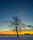 Silueta del árbol de abedul en la salida del sol Imagenes de archivo