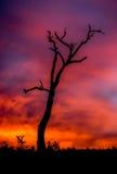 Silueta del árbol de goma viejo en la puesta del sol, Sunbury, Victoria, Australia, agosto de 2016 Fotografía de archivo libre de regalías