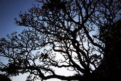 Silueta del árbol del plumeria Imagen de archivo libre de regalías