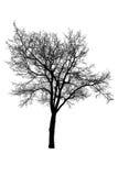 Silueta del árbol en blanco Imagen de archivo libre de regalías
