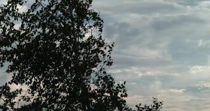 Silueta del árbol muerto Árbol contra el cielo Hojas que agitan en el viento almacen de video