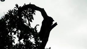 Silueta del árbol que sube del malayanus de los helarctos del oso del sol animal endémico en peligro de Borneo almacen de metraje de vídeo