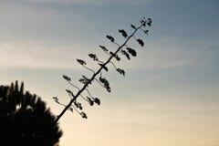 Silueta del agavo enorme en puesta del sol Foto de archivo libre de regalías