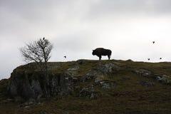 Silueta del búfalo Foto de archivo libre de regalías