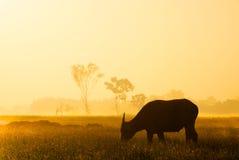 Silueta del búfalo en luz del sol de oro Imágenes de archivo libres de regalías