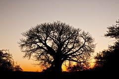 Silueta del baobab contra una puesta del sol africana Foto de archivo libre de regalías