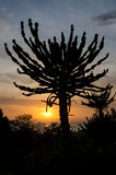 Silueta del cactus impresionante del candelabro con puesta del sol en Angola Imagenes de archivo