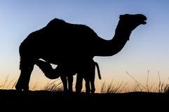 Silueta del camello Fotos de archivo libres de regalías