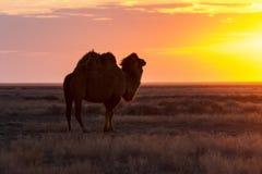 Silueta del camello contra la perspectiva de una puesta del sol en el desierto Foto de archivo