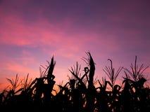 Silueta del campo de maíz, puesta del sol en el campo de maíz Imágenes de archivo libres de regalías
