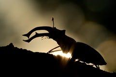 Silueta del cervus de Lucanus del escarabajo de macho Escarabajo grande capturado contra el sol Foto de archivo libre de regalías