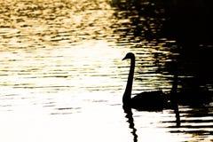 Silueta del cisne Imagen de archivo libre de regalías