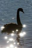 Silueta del cisne en el agua de la chispa. Fotos de archivo
