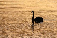 Silueta del cisne en el lago Imágenes de archivo libres de regalías