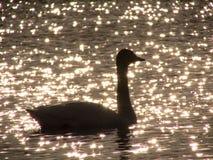 Silueta del cisne en el lago brillante de la puesta del sol Imagenes de archivo
