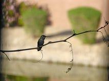 Silueta del colibrí Imagen de archivo libre de regalías
