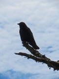 Silueta del cuervo Imagenes de archivo