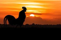 Silueta del cuervo de los gallos en el césped Fotografía de archivo